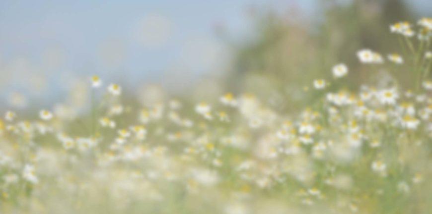 fleurs blanches dans les champs flou